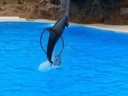 jumping dolphin in a show