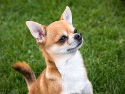 red and white chihuahua dog