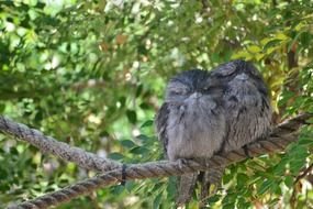 beautiful and cute Frogmouth Bird