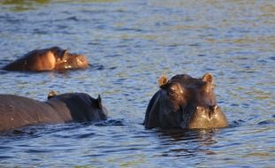 hippos in the river, africa