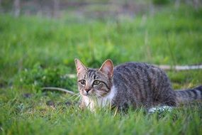 lying low hunting domestic cat