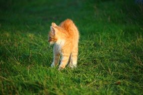 frisky red kitten on the green grass