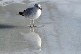 Seagull in water