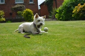 white dog playing with a ball on the grass