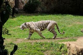 cute lovely Tiger Zoo