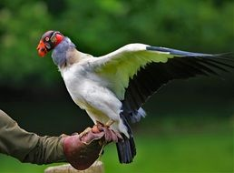 prey King Vulture
