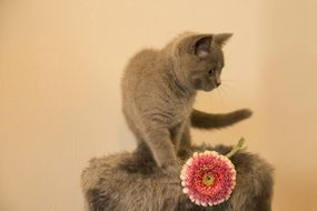 Cute grey domestic kitten
