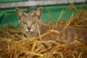 young mackerel cat in straw