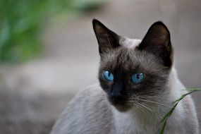 blue eyed Siamese Cat outdoor