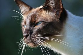 portrait of a thoroughbred siamese cat