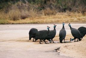 Guinea fowls in the Kruger National Park in South Africa