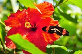 postman butterfly on a red flower