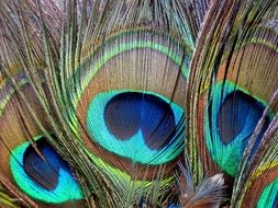 bright colored peacock feathers
