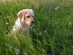 Labrador in the meadow among tall grass