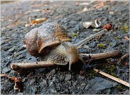 brown Snail crawling on ground