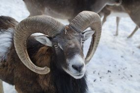 Mouflon Sheep Winter close portrait with horns