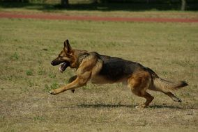 German Shepherd Dog Runs On A Green Meadow