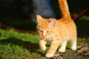 walking young red cat