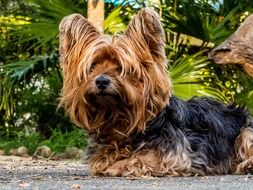 cute fluffy yorkshire terrier