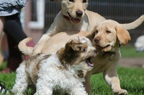 three Puppy dogs playing outdoor