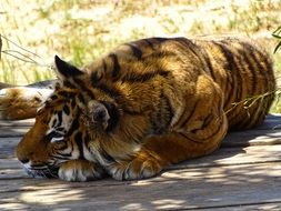 tiger lies on the ground under the sun