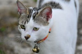 domestic cat with collar and bell