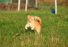 red kitten running through the green grass