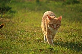 walking tabby red cat