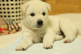 puppy korean jindo with white fur lying