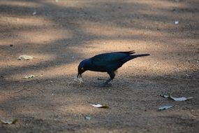 black Bird feeding on ground