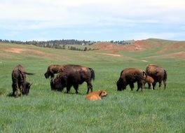 Bisons on the meadow