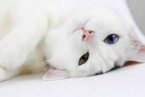 lazy white cat with heterochromia