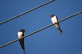 swallows sit on wires on a sunny day