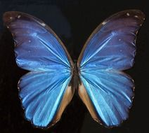 exotic butterfly with blue wings in South America