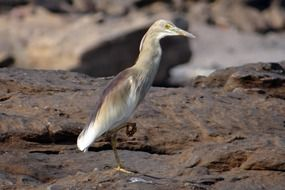 Pond Heron Bird