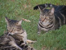two gray striped domestic cats are resting on the grass