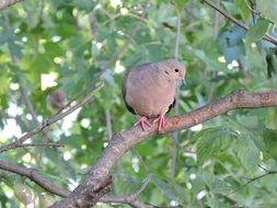 mourning dove or crying dove