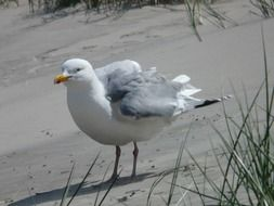 herring gull on the shore