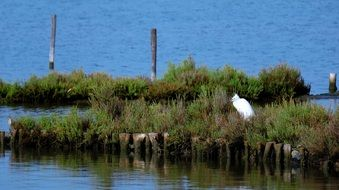 white Heron stands on grass at water