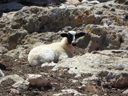 lonely Lamb Sheep on rock resting