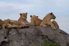 lions on stone in the wild nature of tanzania