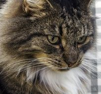 portrait of a norwegian forest cat
