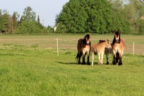 Mares with Foals on fenced lawn at summer