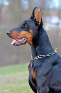 doberman with a chain around his neck