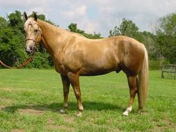 Palomino is a coat color in horses