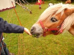person Feeds red Horse with Grass