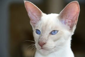 white siamese cat with blue eyes and big ears
