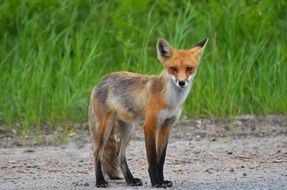foraging wild red fox