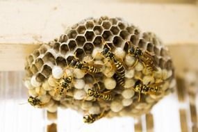 Wasps on Nest, bottom view