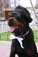 sitting black dog in hat and sunglasses outdoor